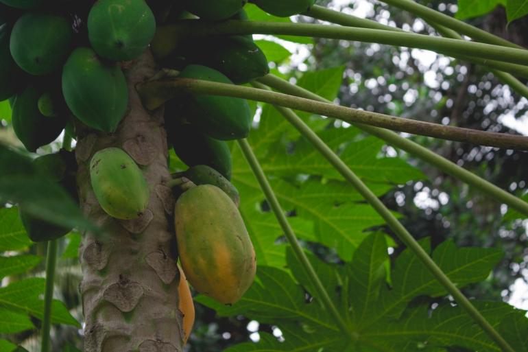 Papaya - familiar fruit in Vietnam