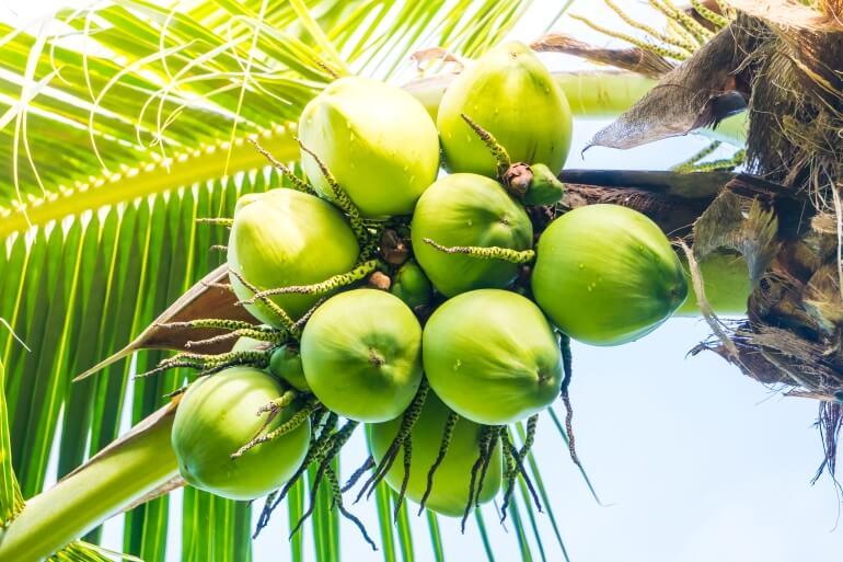 Coconut - famous tree in Vietnam